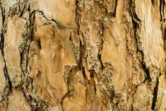 Сосны в расшиве леса и высокорослые углы высокорослой сосны Стоковое фото RF