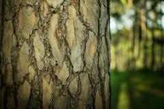 Сосны в расшиве леса и высокорослые углы высокорослой сосны Стоковое Фото