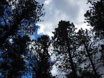 Сосны затмевая как дождевые облако превращаются Стоковое Изображение RF