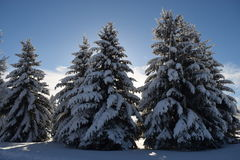 Сосны зимы в солнце Стоковое фото RF