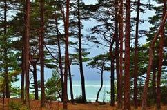 Сосны морем стоковое фото rf