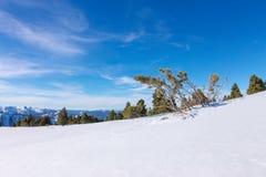 Сосны мягких древесин на горных склонах в снеге в свете Стоковое Изображение