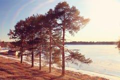 Сосны на береге замороженного озера Стоковые Изображения