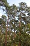 Сосны на ветре Стоковые Фотографии RF