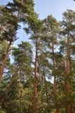 Сосны на ветре Стоковое фото RF