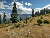 Сосны на горе Стоковое Изображение