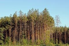 Сосны на крае леса на заднем плане облаков Стоковые Изображения