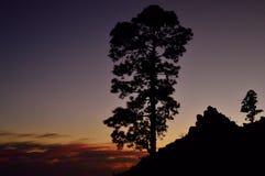 Сосны на наступлении ночи, Pilancones, Gran canaria Стоковое фото RF