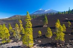 Сосны на поле лавы, Pico del Teide, Тенерифе, Испании Стоковое фото RF
