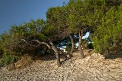 Сосны на пляже Стоковая Фотография RF
