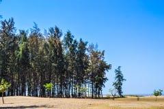Сосны на пляже Стоковая Фотография