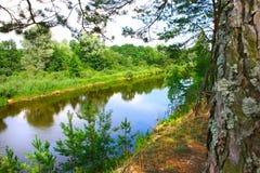 Сосны на речном береге Стоковое Фото
