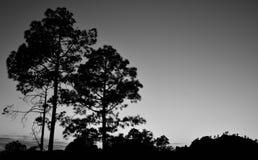 Сосны подсвеченные на наступлении ночи Стоковое Фото