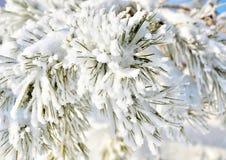 Сосны покрытые с изморозью и снегом Стоковое Изображение RF