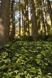 Сосны растущего amoungst плюща высокорослые Стоковые Изображения
