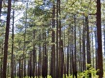 Сосны растя в лесе Стоковое Изображение RF