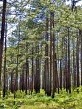Сосны растя в лесе Стоковые Изображения