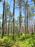 Сосны растя в лесе Стоковые Фотографии RF