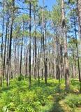 Сосны растя в лесе Стоковое Изображение