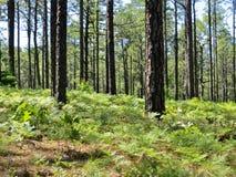 Сосны растя в лесе Стоковые Фото