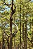 Сосны растя в лесе Стоковая Фотография RF