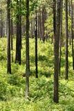 Сосны растя в лесе Стоковая Фотография