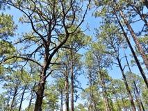Сосны растя в лесе Стоковое фото RF