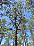 Сосны растя в лесе Стоковые Изображения RF