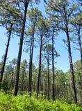 Сосны растя в лесе Стоковое Фото