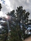 Сосны Солнця Стоковое Изображение