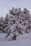 Сосны спруса ландшафта зимы Стоковое Фото