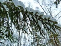 Сосны тяжело покрыли со свежим снегом Природа чуда стоковое изображение rf