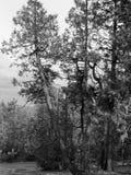 Сосны Стоковая Фотография RF