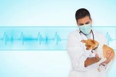 Составное изображение ветеринара в защитной маске проверяя чихуахуа Стоковые Изображения RF