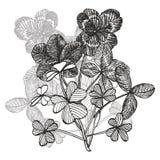 Составы вектора клевера Изолированные дикое растение и листья на белой предпосылке Травяная выгравированная иллюстрация стиля бесплатная иллюстрация