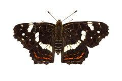 Составьте карту levana Araschnia бабочки на белой предпосылке Стоковые Изображения RF