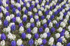 Состав доски белых и сине-фиолетовых гиацинтов Стоковые Изображения