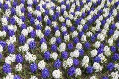 Состав доски белых и сине-фиолетовых гиацинтов Стоковые Изображения RF