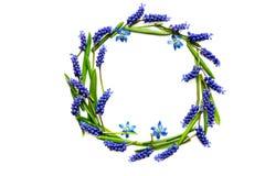 Состав цветка весны рамка цветков muscari изолированных на белой предпосылке Стоковое фото RF