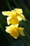 Состав Narcissus Стоковое Изображение