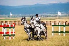 Состязание белых лошадей с экипажом и всадник во время курса Стоковые Фотографии RF