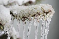 Сосульки вися от замороженной елевой ветви Плохая концепция погоды зимы малая глубина селективного фокуса фото поля Стоковое Фото