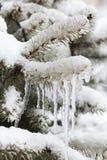 Сосульки вися от замороженной елевой ветви Плохая концепция погоды зимы малая глубина селективного фокуса фото поля Стоковое Изображение