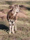Сосунок европейского Mouflon Стоковые Изображения RF