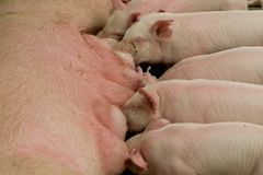 сосунок свиней розовый Стоковые Изображения