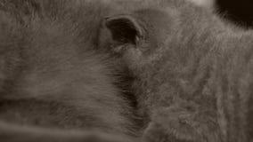 Сосунок Cubs от кота матери видеоматериал