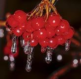 Сосульки на guelder-Розе Стоковое фото RF
