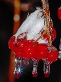 Сосульки на guelder-Розе Стоковые Фотографии RF