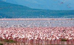 Сотни тысяч фламинго на озере Кения вышесказанного Национальный заповедник Bogoria озера стоковое фото rf