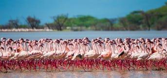 Сотни тысяч фламинго на озере Кения вышесказанного Национальный заповедник Bogoria озера стоковые фото